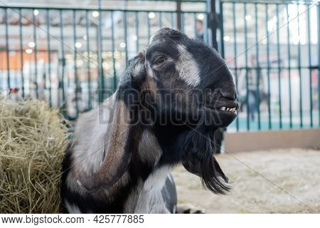 Portrait Of Black And Grey Nubian Goat At Agricultural Animal Exhibition, Small Cattle Trade Show. F