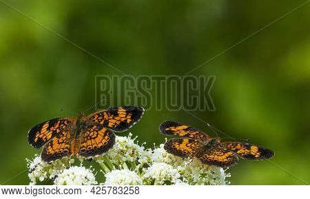 These Two Pearl Crescent Butterfly Are Perched On Common Yarrow Flowers That Are Prevalent In This A