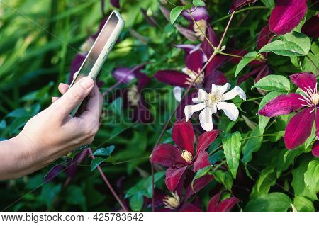 Taking Picture Of Flowering Plant With Smartphone, Woman Using Mobile Application To Identify Clemat