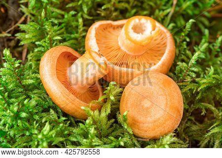 Raw Saffron Milk Cap Mushrooms On Moss Background. Lactarius Deliciosus Mushroom Closeup. Forest Mus
