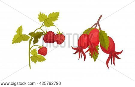 Hawthorn Branch And Strawberry Stalk As Forest Botany Element Vector Set