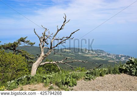 A Withered Gnarled Pine Tree On A Mountain Overlooking Yalta, Crimea, Russia.