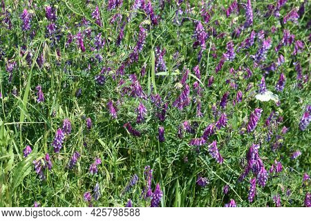 Multiple Hairy Vetch In Bloom View With Selective Focus