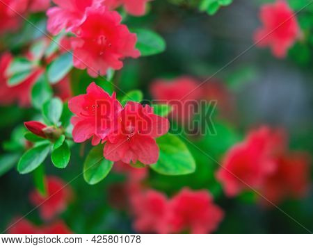 The Beautiful Spring Or Summer Background Of The Red Azalea Flower In Full Bloom With The Space For