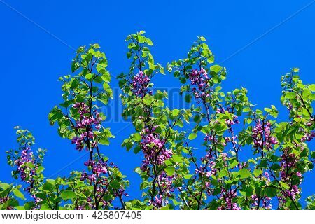 Many Vivid Pink Flowers Of Cercis Siliquastrum, Commonly Known As Judas Tree Or Judas-tree, In A Gar
