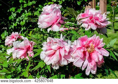 Bush With Many Large Delicate Pink Peony Flowers In Direct Sunlight, In A Garden In A Sunny Summer D