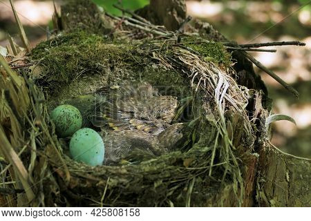 Small Birds In A Nest In The Forest In Their Natural Habitat, Birds Nest With Eggs And Chicks. High