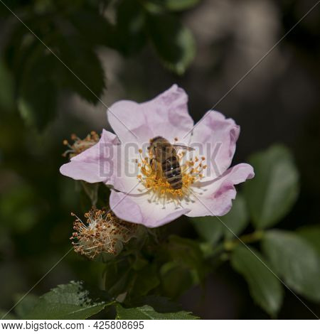 Delicate Rose Flower With Green Leaves And A Bee Collecting Nectar