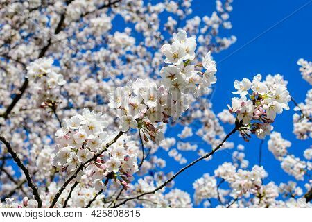 Large Branch With White Cherry Tree Flowers In Full Bloom Towards Clear Blue Sky In A Garden In A Su