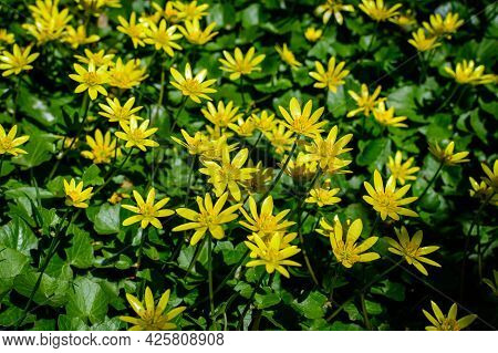 Many Delicate Yellow Flowers Of Ranunculus Repens Plant Commonly Known As The Creeping Buttercup, Cr