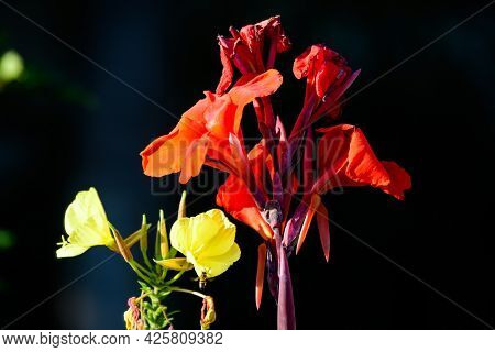 Red Flowers Of Canna Indica, Commonly Known As Indian Shot, African Arrowroot, Edible Canna, Purple