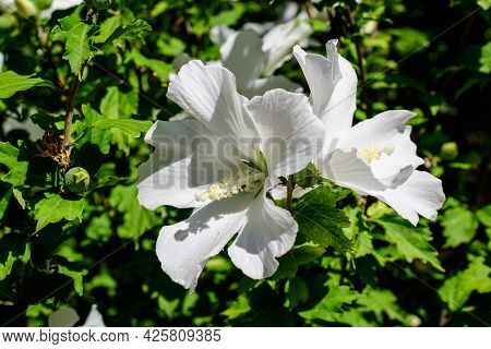 One White Flower Of Hibiscus Syriacus Plant, Commonly Known As Korean Rose, Rose Of Sharon, Syrian K