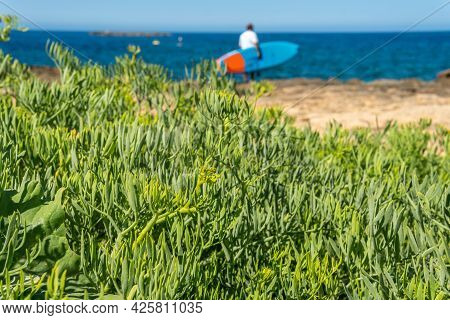 Close-up Of The Mediterranean Sea Fennel Plant, Crithmum Maritimum, With A Person With A Surfboard I