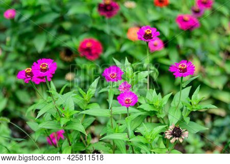 Close Up Of Many Beautiful Large Pink Magenta Zinnia Flowers In Full Bloom On Blurred Green Backgrou