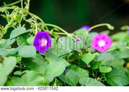 Two Delicate Vivid Blue And Pink Flowers Of Morning Glory Plant In A A Garden In A Sunny Summer Gard