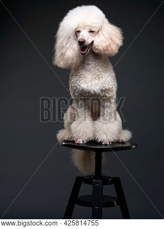 Dog Smile. Portrait Of A White Small Poodle On Black Background. Beautiful Pet