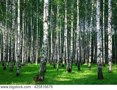 Summer Birch Forest In The Rays Of Sunlight
