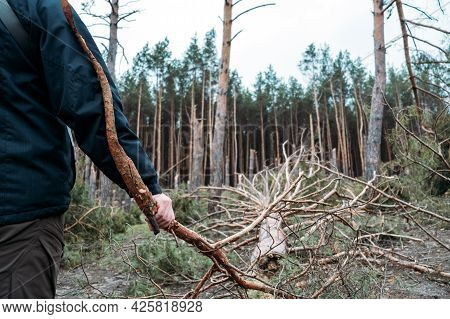 Tornado Storm Damage. Fallen Pine Trees In Forest After Storm. Man Removes Branches Of Fallen Trees,