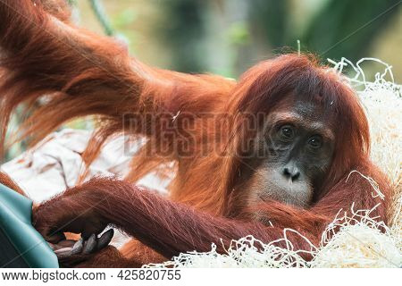 Orangutans Are Great Apes Native To The Rainforests Of Indonesia And Malaysia. They Are Now Found On