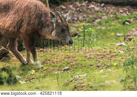 The Chinese Goral (naemorhedus Griseus), Also Known As The Grey Long-tailed Goral, Is A Species Of G