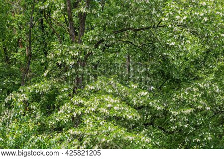 Fragment Of Blooming Old Black Locust Trees With Clusters Of White Flowers In Spring Park, Backgroun