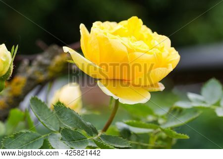 Yellow Flower Of Garden Creeping Rose On A Dark Blurred Background, Close-up