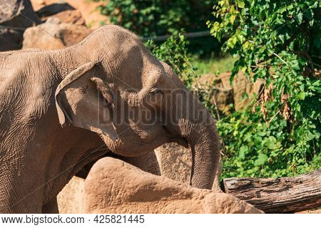 The Asian Elephant (elephas Maximus), Also Known As The Asiatic Elephant, Is The Only Living Species