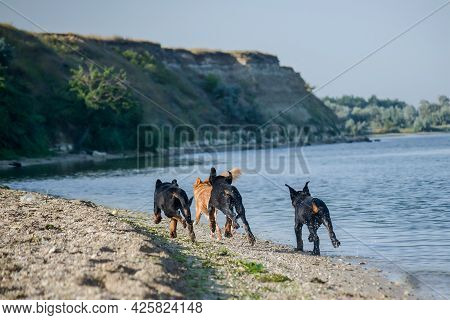 Dogs Frolicking On The Seashore. Three Rottweiler Puppies In Pursuit Of A Red Mixed Breed Dog. The A