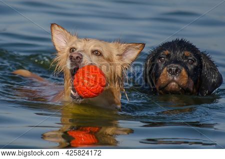 Two Dogs Are Swimming In The Sea. A Little Red Female Of Mixed Breed Is Swimming In The Water Holdin