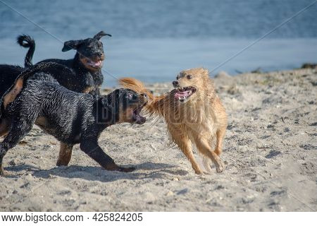 Dogs Frolicking On The Seashore. Rottweiler Puppies Want To Chase A Red Dog And Grab Its Tail. A Mix