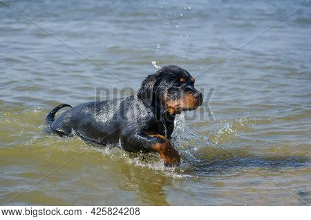 Portrait Young Dog Coming Out Of Sea On Shore. Drops Of Water Dripping From The Face Of Rottweiler P