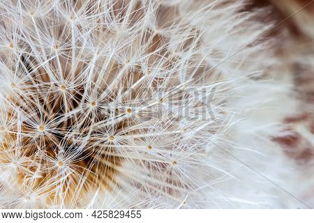 White Dandelion Head With Seeds Close-up. Selective Soft Focus. Natural Spring, Summer Background