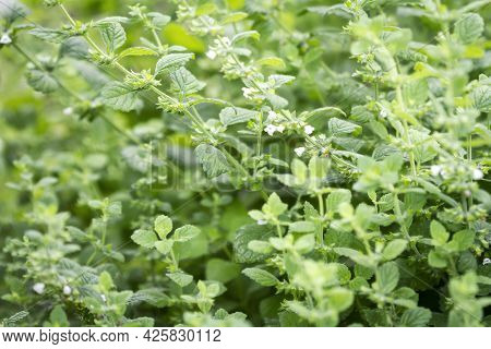 Close Up Of Beautiful Fresh Mint Growing In The Garden