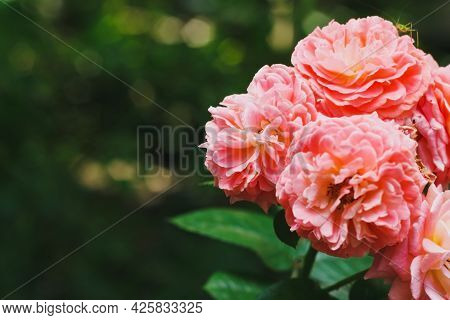 Magnificent Romantic Beautiful Pink Hybrid Tea Rose Blooming In Summer. Rose Background