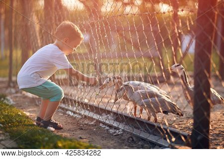 A little boy feeding ducks in the coop through the fence on a beautiful sunny day. Farm, countryside, summer