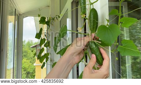 Female Hand Harvesting Cucumber, Plants Growing On Windowsill On Balcony. Home Garden In Apartment
