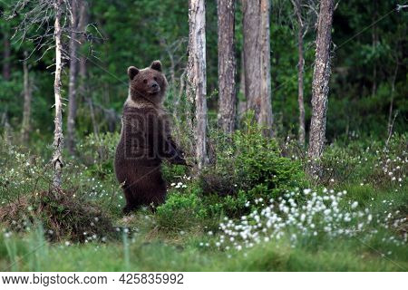 The Brown Bear (ursus Arctos) Female In The Forest. A Young Bear In The Finnish Taiga.the Bear Stand
