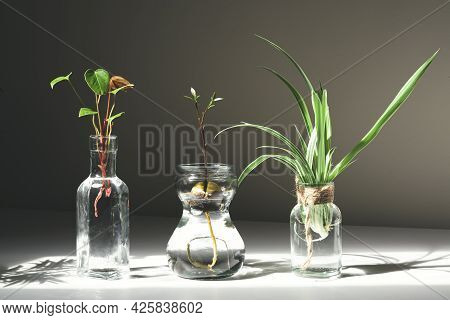 Home Gardening - Anthurium, Chlorophytum And Avocado Sprouts In Glass Jars With Water, Home Gardenin