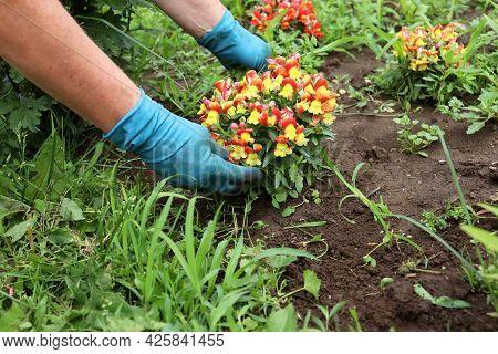 A Farmer Weeds A Garden Bed And A Flower Garden, Collects Weeds From A Flower Bed In The Garden