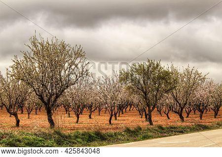 Almond Trees In Bloom Under Gray Sky In Albacete, Spain