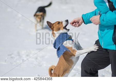 Artful Basenji Dog Beg Master To Give It Some Food In This Cold Day While Playing Outdoor At Winter
