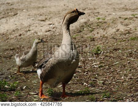 Close-up Of An Adult Goose And A Small Goose In The Background Walking Along The River Bank On A Sun