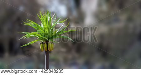 Sprout With Green Leaves And Flower Buds Close-up, Selective Focus, Blurred Background, Place For Te