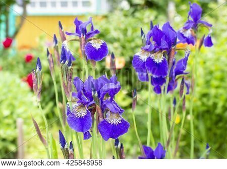 Violet And Blue Iris Flowers Closeup On Green Garden Background. Sunny Day. Lot Of Irises.