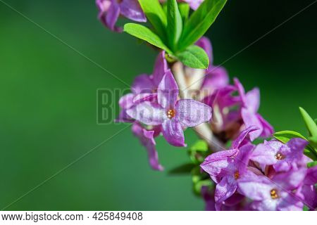 Purple Flowers Bush Grow In The Spring Garden. Spring Summer Floral Background. Delicate Background