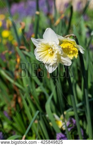 Narcissus Yellow And White. Spring Flowering Daffodils Bulb Plants In The Flowerbed. Selective Focus