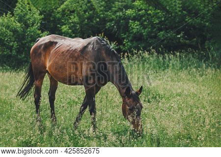 Beautiful Horse Grazing In The Meadow. Summer Meadow In A Sunny Day.