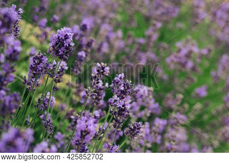 Beautiful Lavender Flowers In A Summer Garden.  Selective Focus.