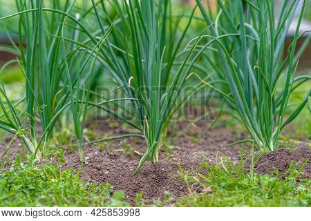 Spring Onions In The Garden Of The Farmyard
