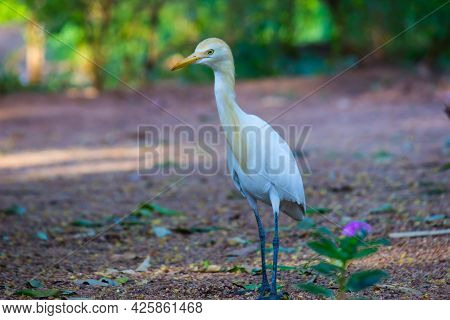 The Cattle Egret Is A Cosmopolitan Species Of Heron Found In The Tropics, Subtropics,  And Warm-temp
